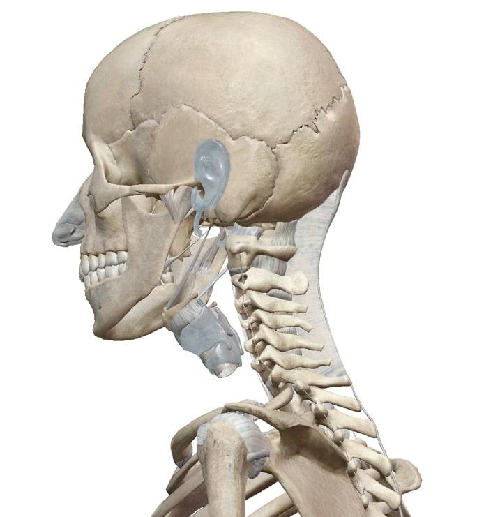 Erfreut Anatomie Des Halses Und Nacken Ideen - Menschliche Anatomie ...